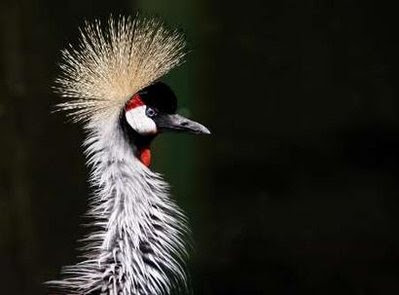 Animal: african Crown Crane.