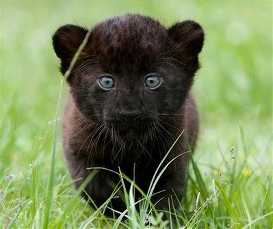 Animal: panther.