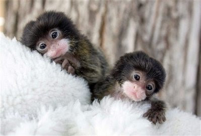 Tamarin monkey.