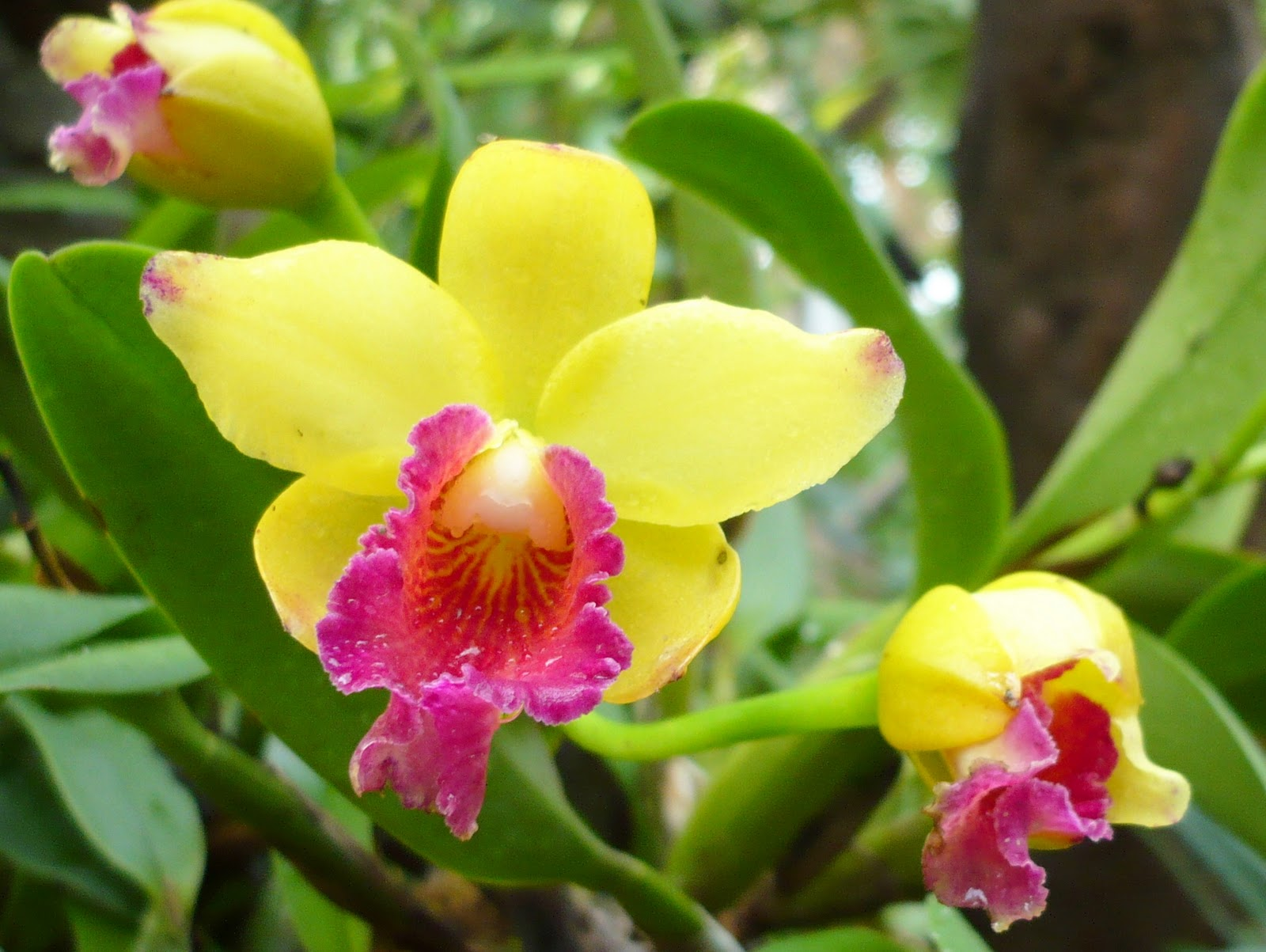 Welcome to rose28 website orchids for Orchidea cattleya