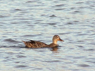 الطيور المائية تزيد من تواجدها بالجزائر 0+%283%29