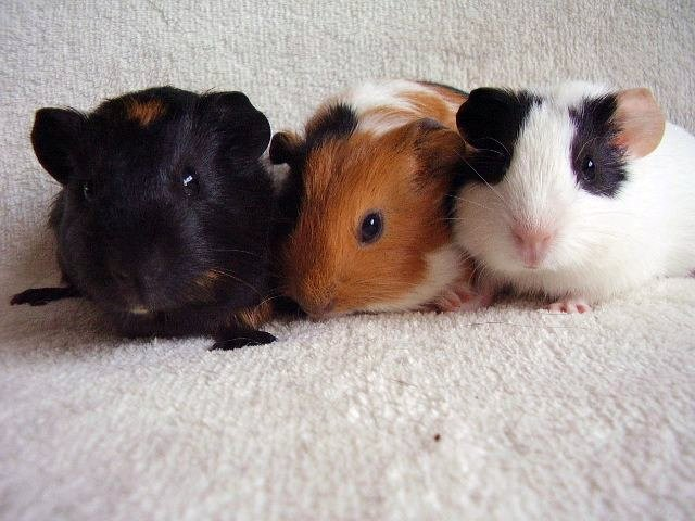 Guinea pig dating service