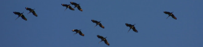 Sandhill cranes over Michigan