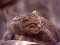 Il Gatto Selvatico è Ancora Presente Sui Nebrodi Il Parco Dei Nebrodi