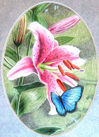 Blue Morpho on Pink Stargazer