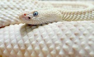 albino white snake