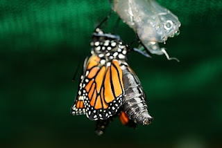 monarch right after hatching