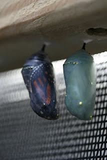 note the wing pattern on both chrysalis'