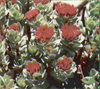 rhizoma rhodiola sacra