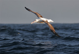 Kungsalbatross - världens näst största albatross med närmare tre meter mellan vingspetsarna. Två mi