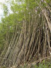O que o bambuzal aprende com o mar