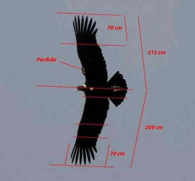 Esquel aves el c ndor es o no es el m s grande for Cuanto peso aguanta un cuelga facil