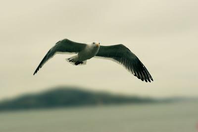 Alcatraz Seagull by Justin Blanton