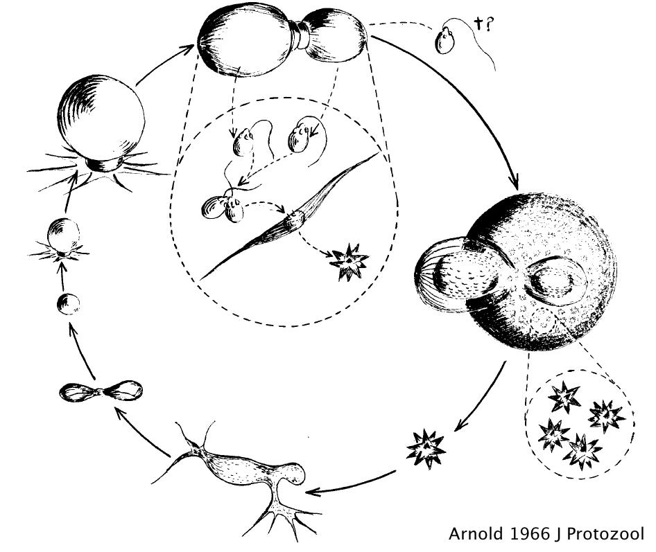 Een eigen bedrijf beginnen  Iets voor jou Oomycetes Life Cycle