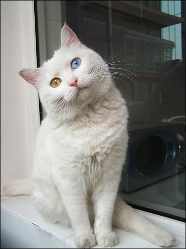 Odd-eyed cat pictures