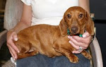 Adopt a rescued dachshund!