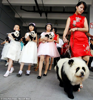 panda dog, pandadog baby panda puppy panda chow puppy photo picture