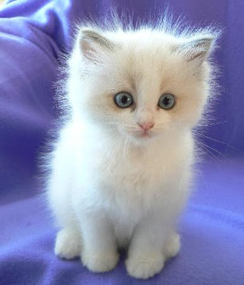 White Baby Kittens With Blue Eyes Simply Joolz: F...