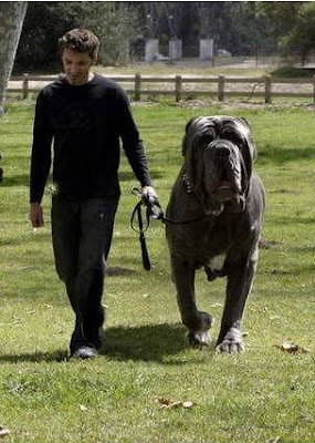 ... worlds biggest dog by guinness world record hercules is an english