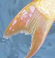 Fish Pox - Goldfish Disease