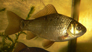 Wild Goldfish - Crucian carp