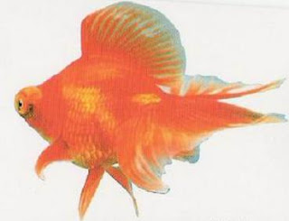 Butterfly Tail Goldfish