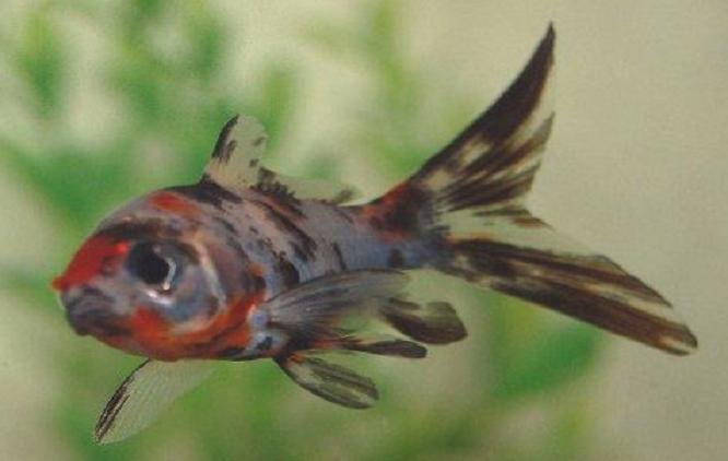... Types Pictures Diseases and Treatment: Shubunkin Goldfish Pictures