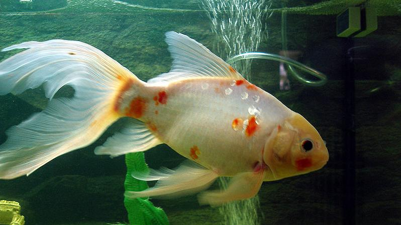 Goldfish care types pictures diseases and treatment for Shubunki fische