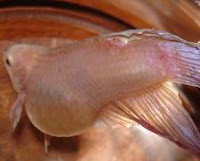 Dropsy - Goldfish Disease