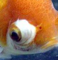 Goldfish care types pictures diseases and treatment for Fish pop eye