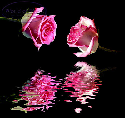 Pair love Romantic pink roses still