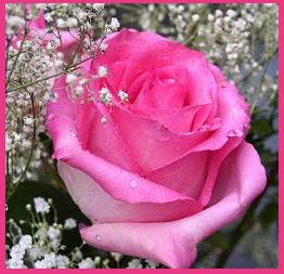 Single Lovely pink Rose image