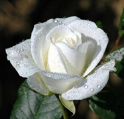 Beautiful White Rose wallpaper