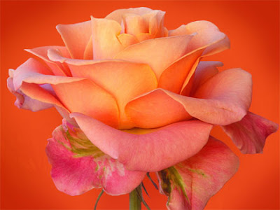 Romantic Bangalore orange rose still
