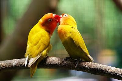 Double love birds lovely still