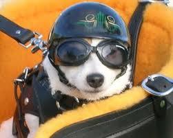 Cane in moto con casco