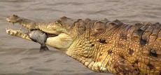 Problemática Ambiental del Río Cojedes y el caimán del Orinoco