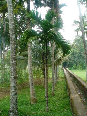 Alongside the canal are coconut trees & areca-nut trees. When I was