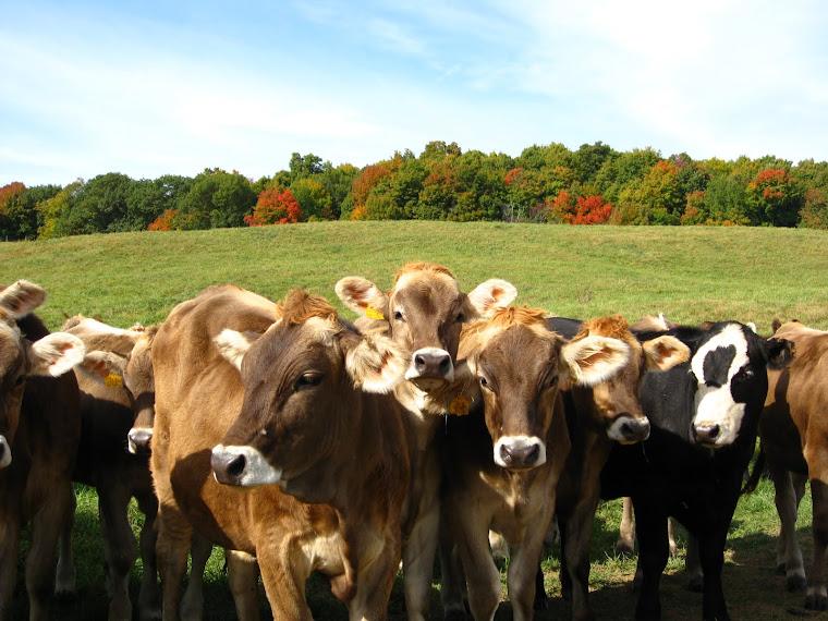 Shelburne Farms cows love the fall foliage