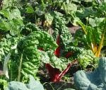 A delicious Swiss chard recipe.