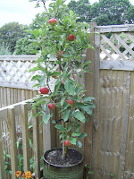 Red Windsor apple tree in pot.