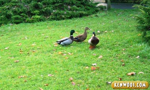 harewood leeds ducks