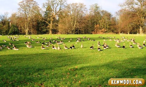 harewood park leeds ducks