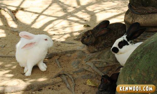 bukit tinggi rabbits