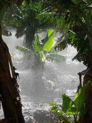 Bananas being irrigated