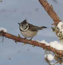 Crested Tits, Sweden