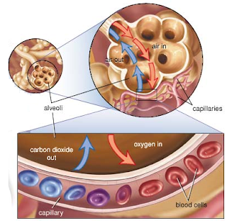 external image functions+of+alveoli.png