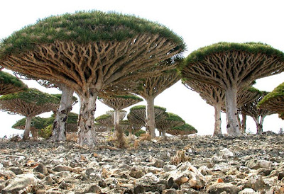 Dragon S Blood Trees