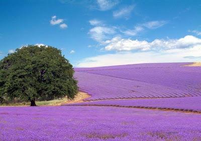 [lavender_fields_01.jpg]