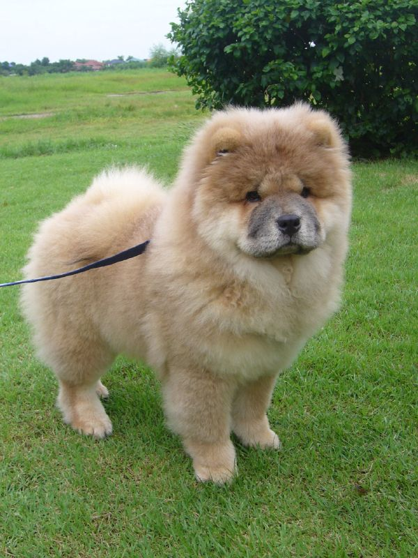 The chow chow is an independent dog often focused only on its own
